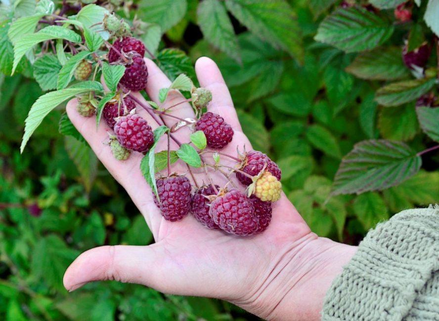 Ремонтантные сорта отличаются повышенной урожайностью и длительным периодом плодоношения
