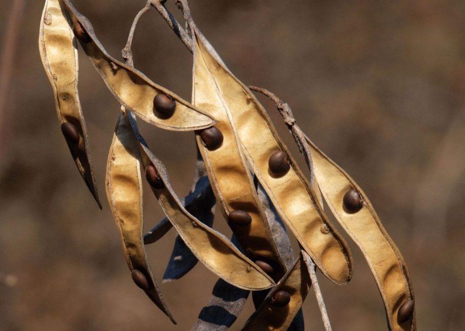 Семена бобовника