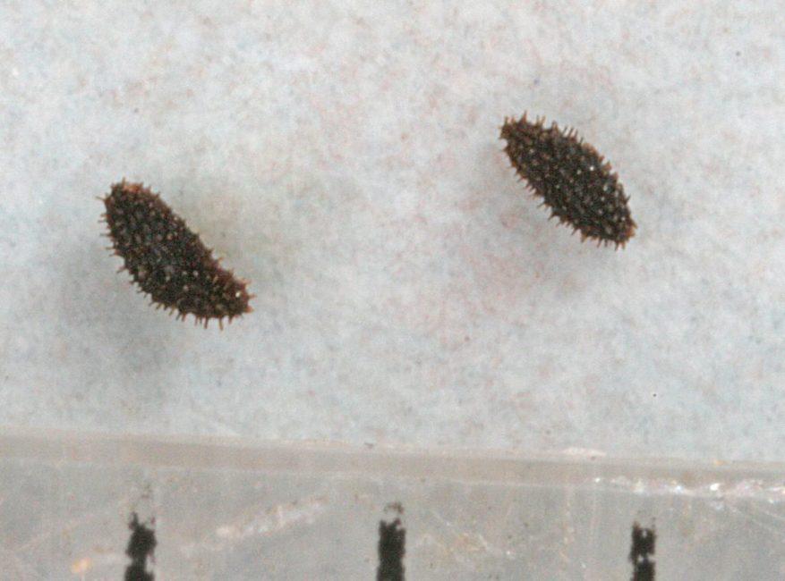 Семена гейгеры