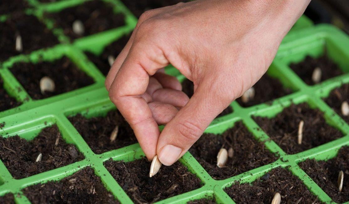 Семена кабачков при рассадном способе выращивания