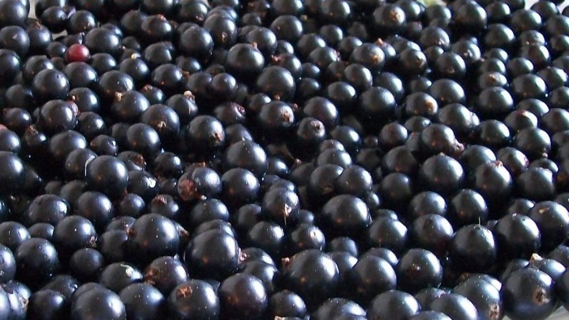 С 1 куста вида с повышенной урожайностью собирают от 5 до 8 кг спелой ягоды