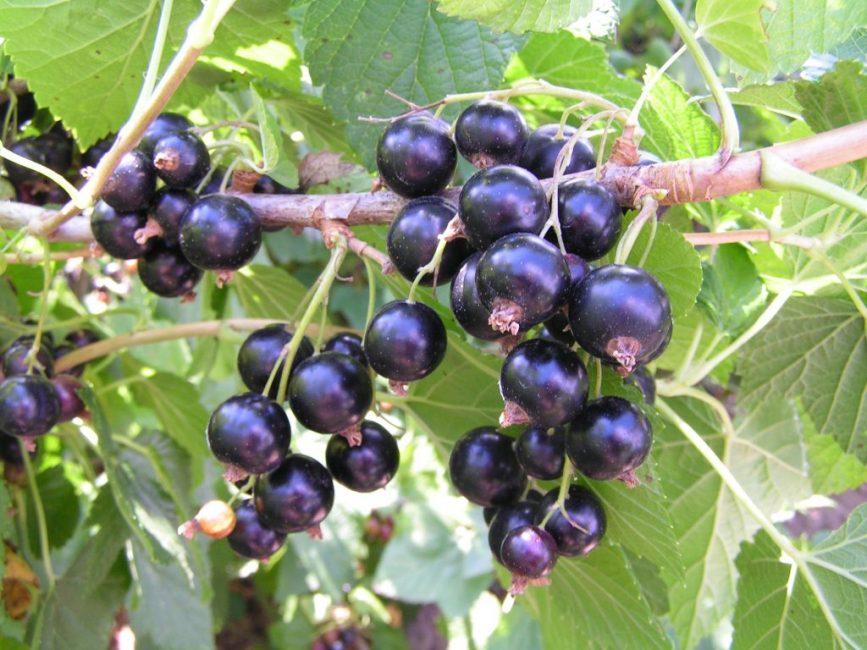 Титания – сорт с крупными плодами, которые полностью созревают в середине июля – начале августа