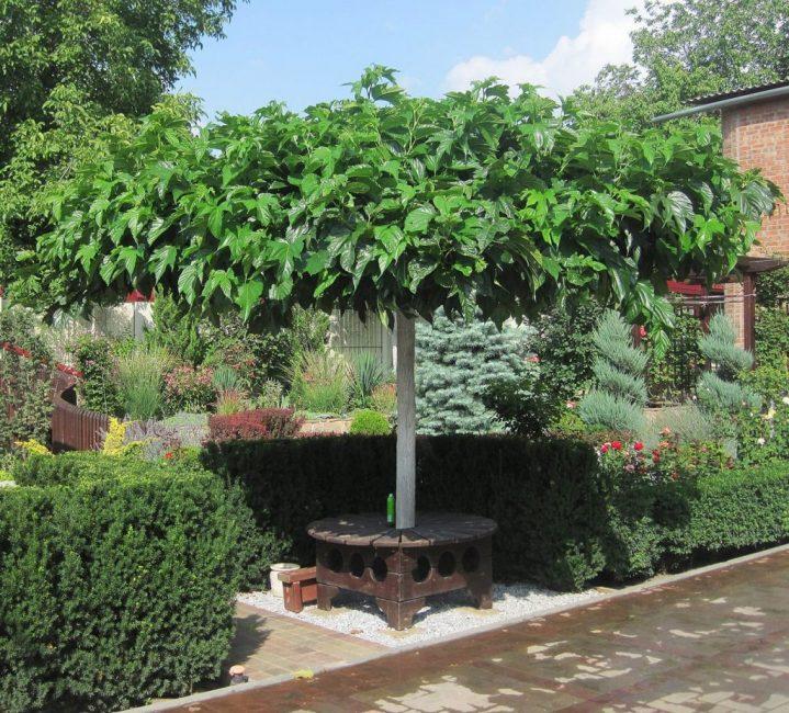 Тутовник - украшение сада
