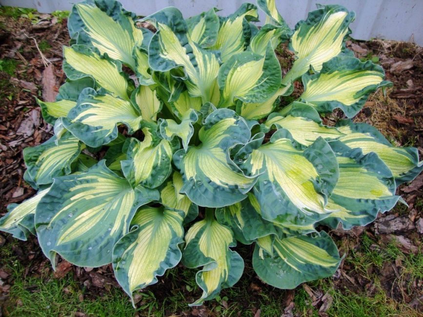 Хоста - неприхотливое растение