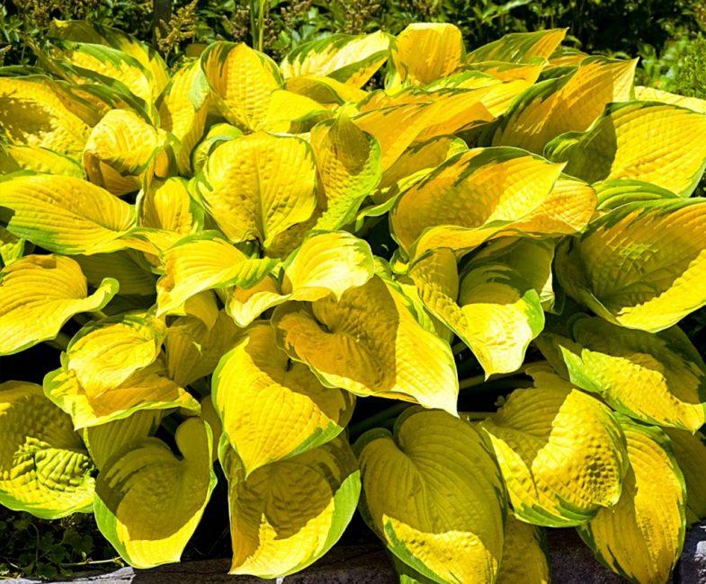Некоторые сорта хорошо растут на солнечных участках