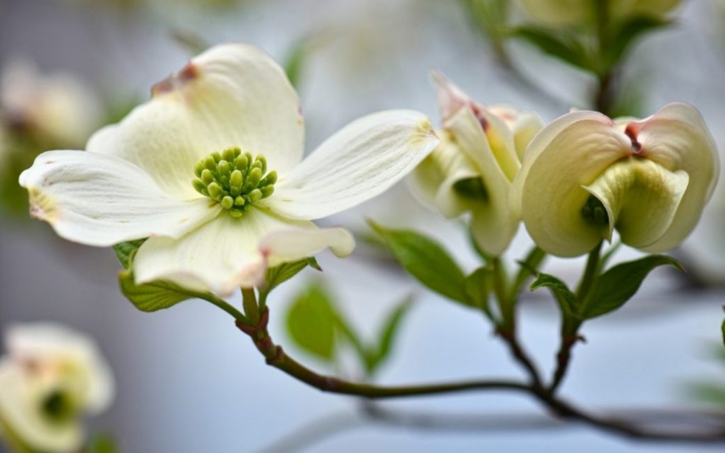 Цветок кизила