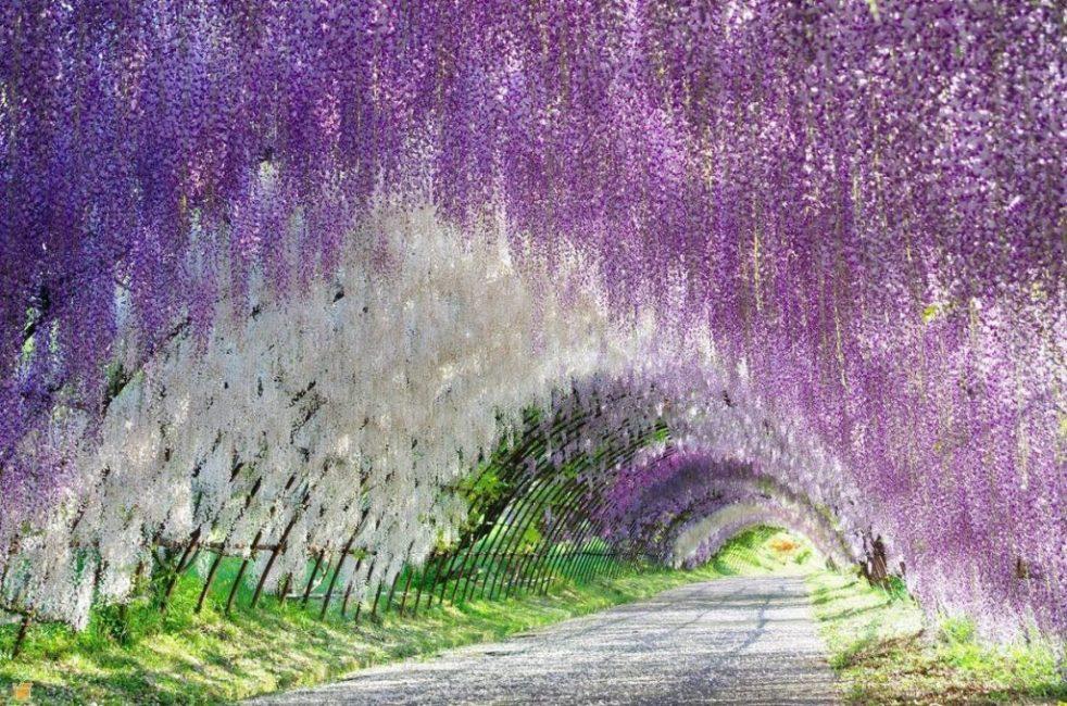 Цветочный тоннель из вистерий