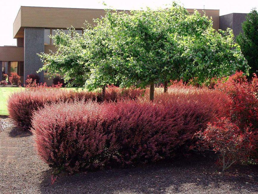 С помощью регулярной обрезки можно придать кустарнику красивую форму