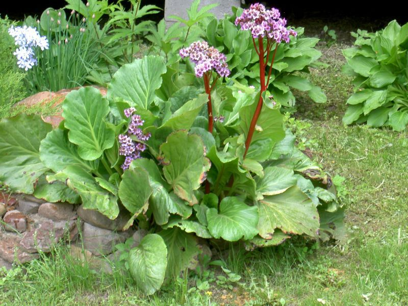 Бадан можно выращивать на различныхучастках
