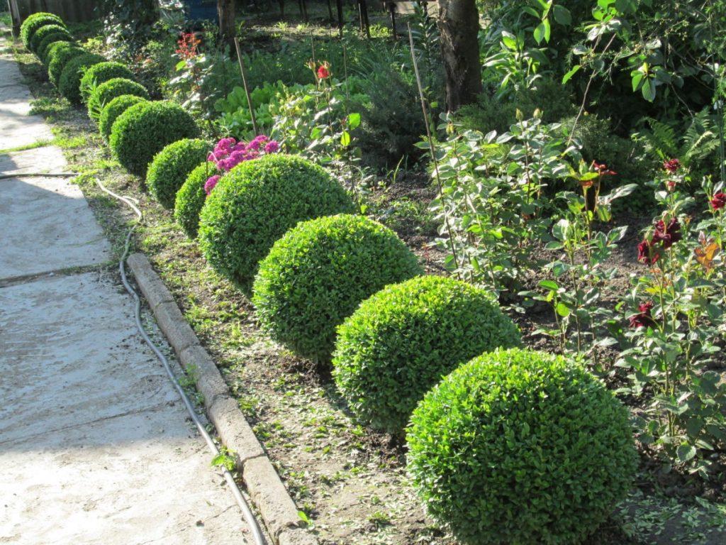 Самшиты где посадить в саду фото