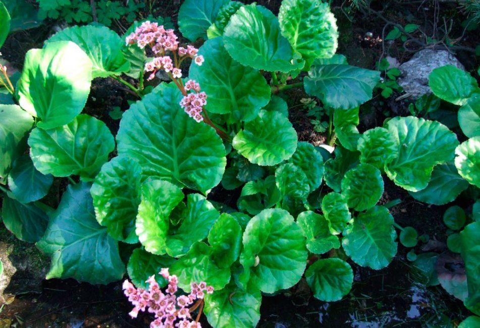 Камнеломка толстолистная - первое название растения