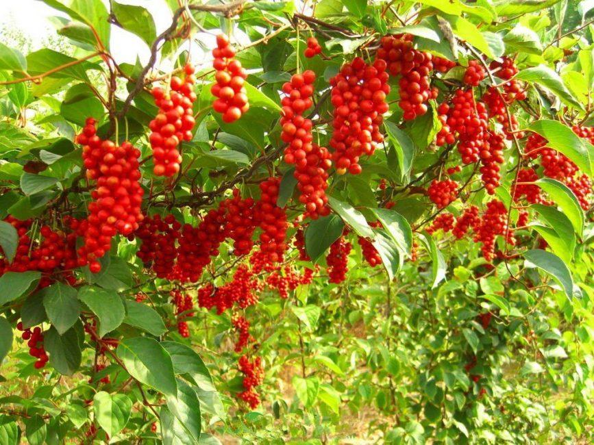 Изучено 23 вида растения