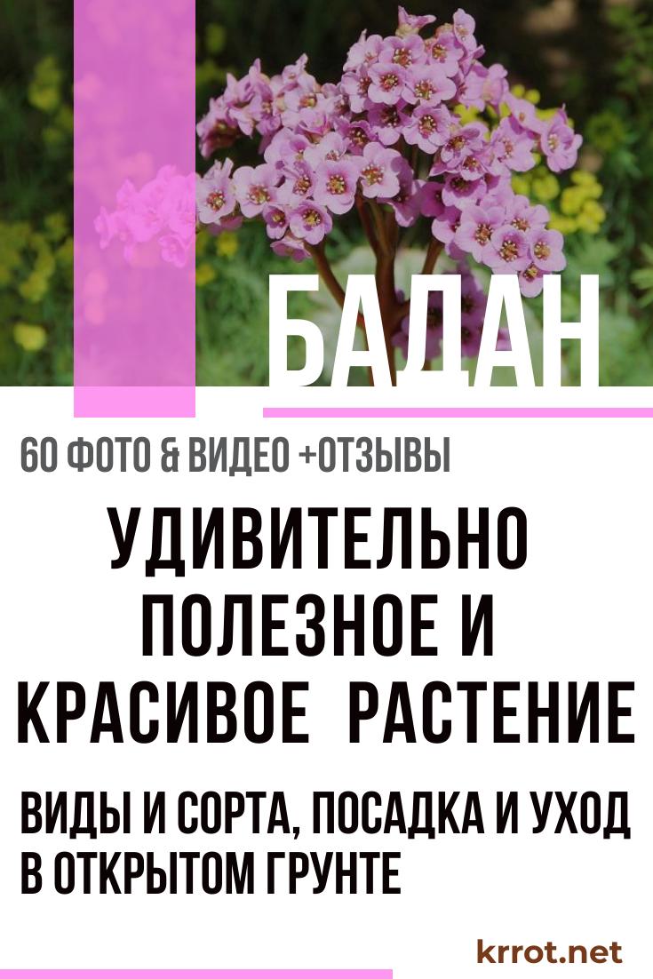 Когда цветет бадан