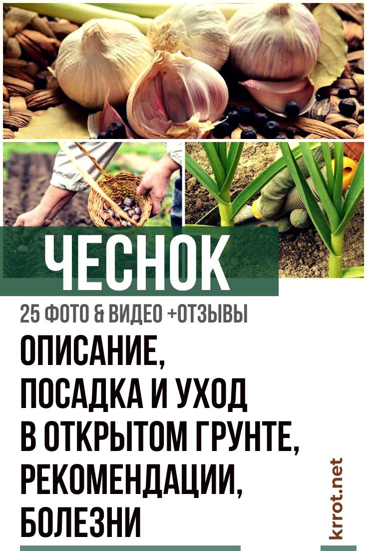 Чеснок Надежный - описание сорта, фото, характеристики, урожайность, выращивание, когда и как сажать, как хранить, где купить