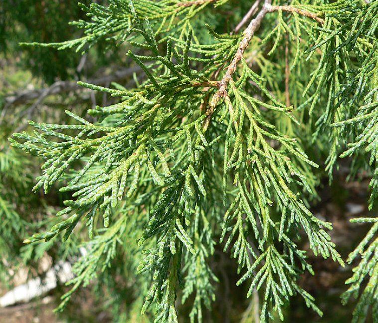 Скальный вид или Juniperus scopulorum