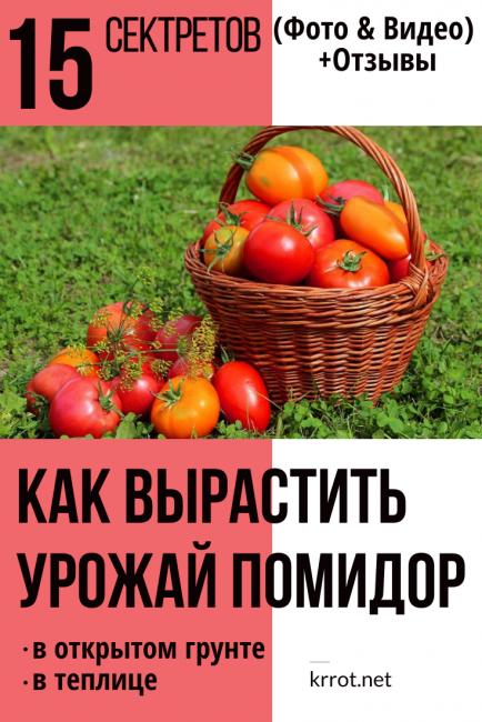 Как вырастить урожай помидор