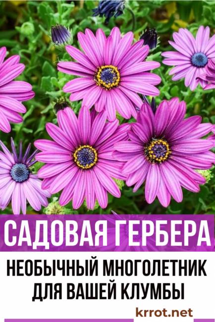 герберы садовые посадка и уход