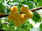 абрикос посадка и уход