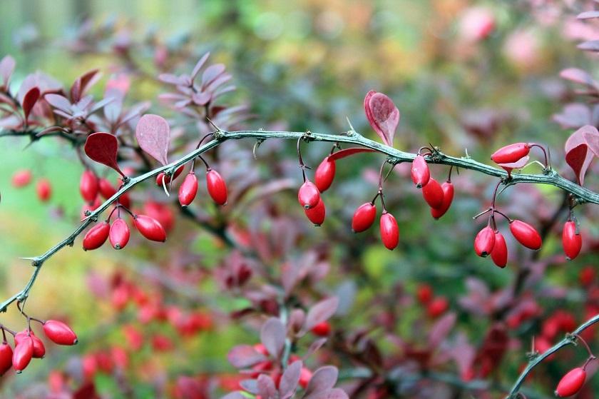 Барбарис Тунберга – описание популярных сортов растения, польза и применение