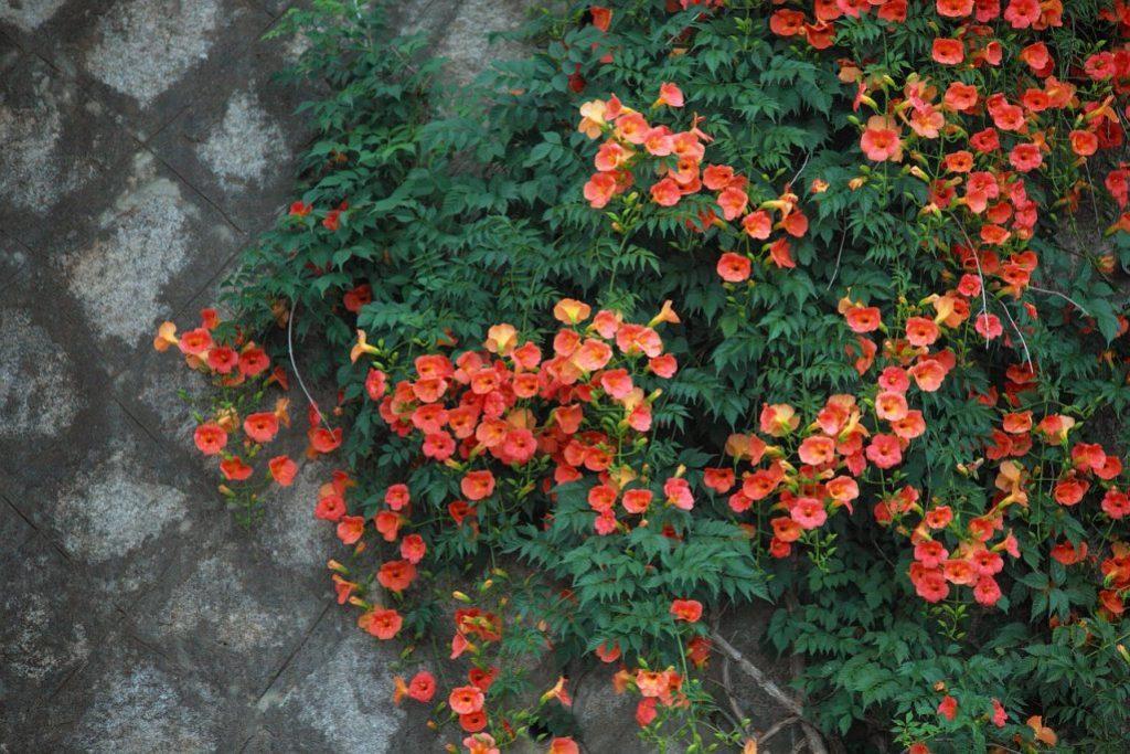 Яркие и красивые цветки растения campsis