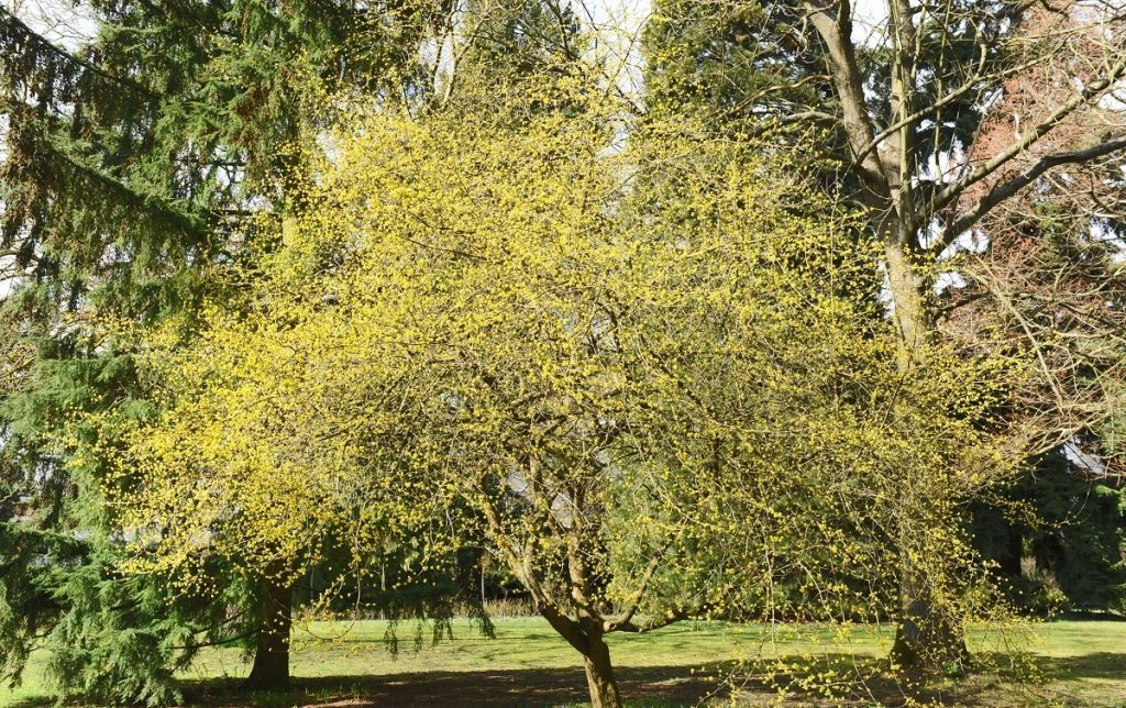 Чрезмерно разросшееся дерево,, нуждающийся в обрезке