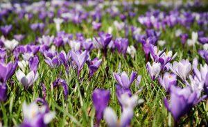 ТОП-20 Первоцветов: цветы цветущие весной (март, апрель, май). Описание и характеристика, рекомендации по уходу (120 Фото & Видео)