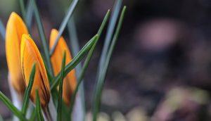 цветы цветущие весной крокусы