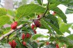 шелковица выращивание и уход
