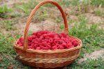 малина как ухаживать чтобы был хороший урожай