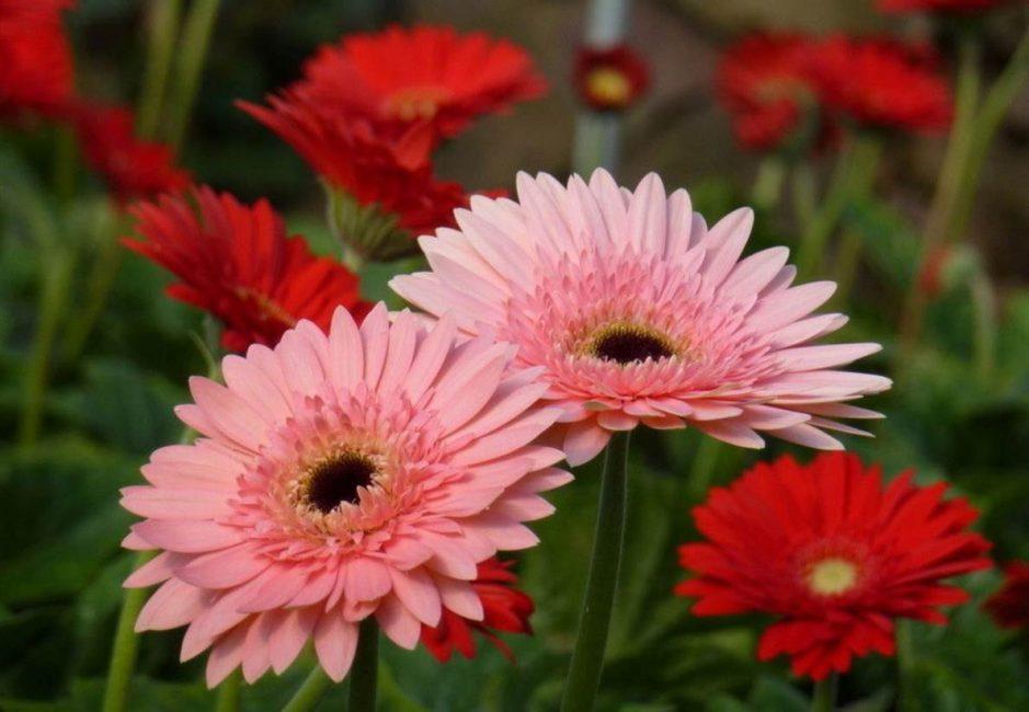 Цветок южноафриканского экзота