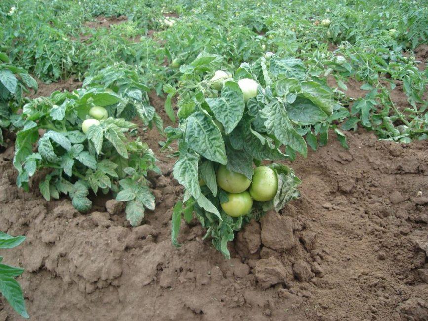 Низкорослые раннеспелые сорта томатов