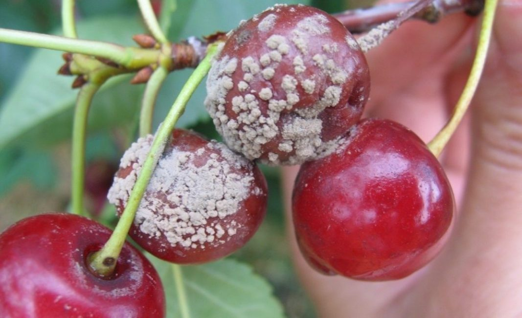 Зараженные плоды