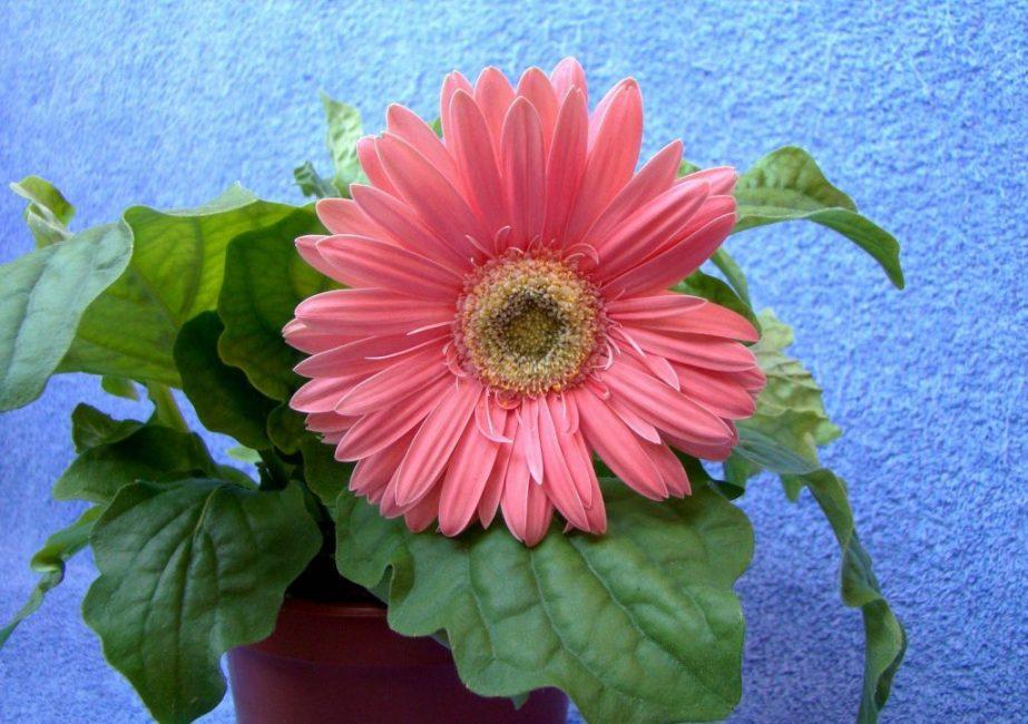 Розовая гербера в горшке