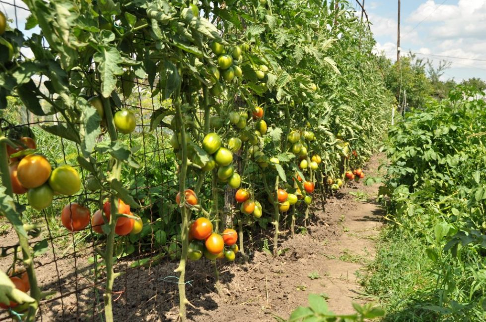 Шпалерная повязка томатов