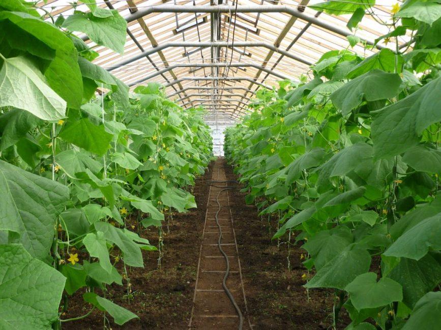 Температура в теплице при выращивании огурцов не должна превышать +35°С