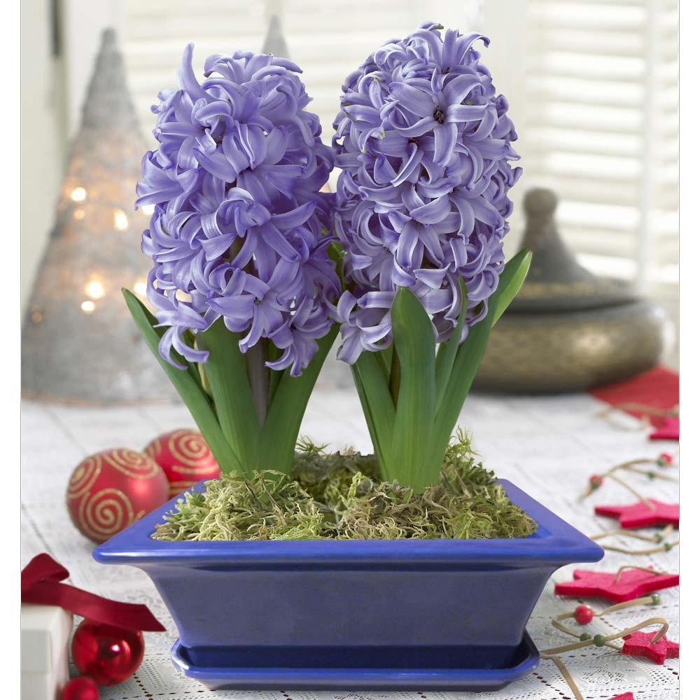 цветы гиацинт когда сажать фото снежинки форме