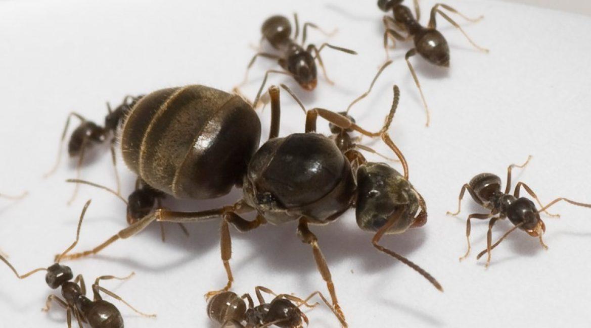 Матка чёрного садового муравья