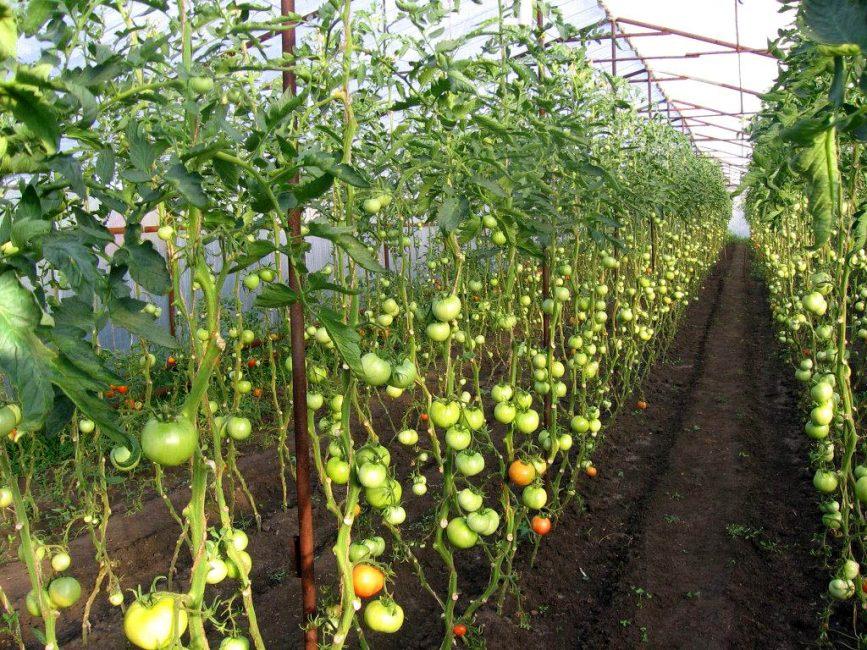 Высокорослые помидоры