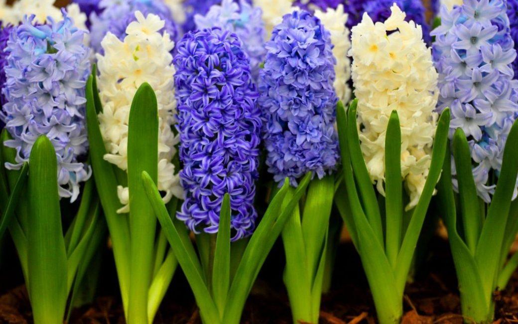 Белый и синий гиацинты