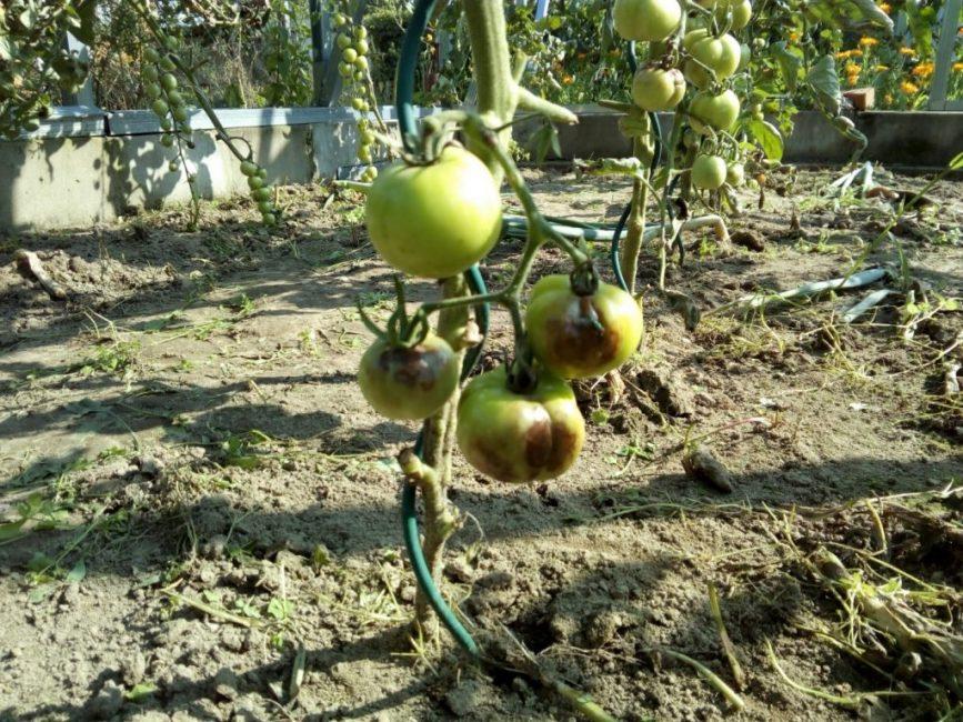 Зараженный томатный куст