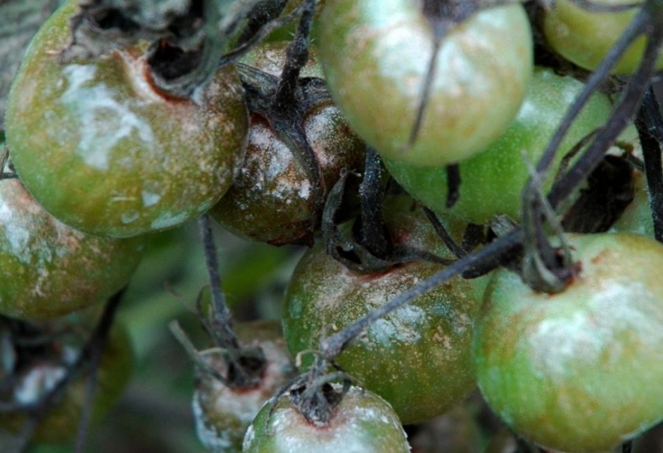 Поражённые грибком плоды