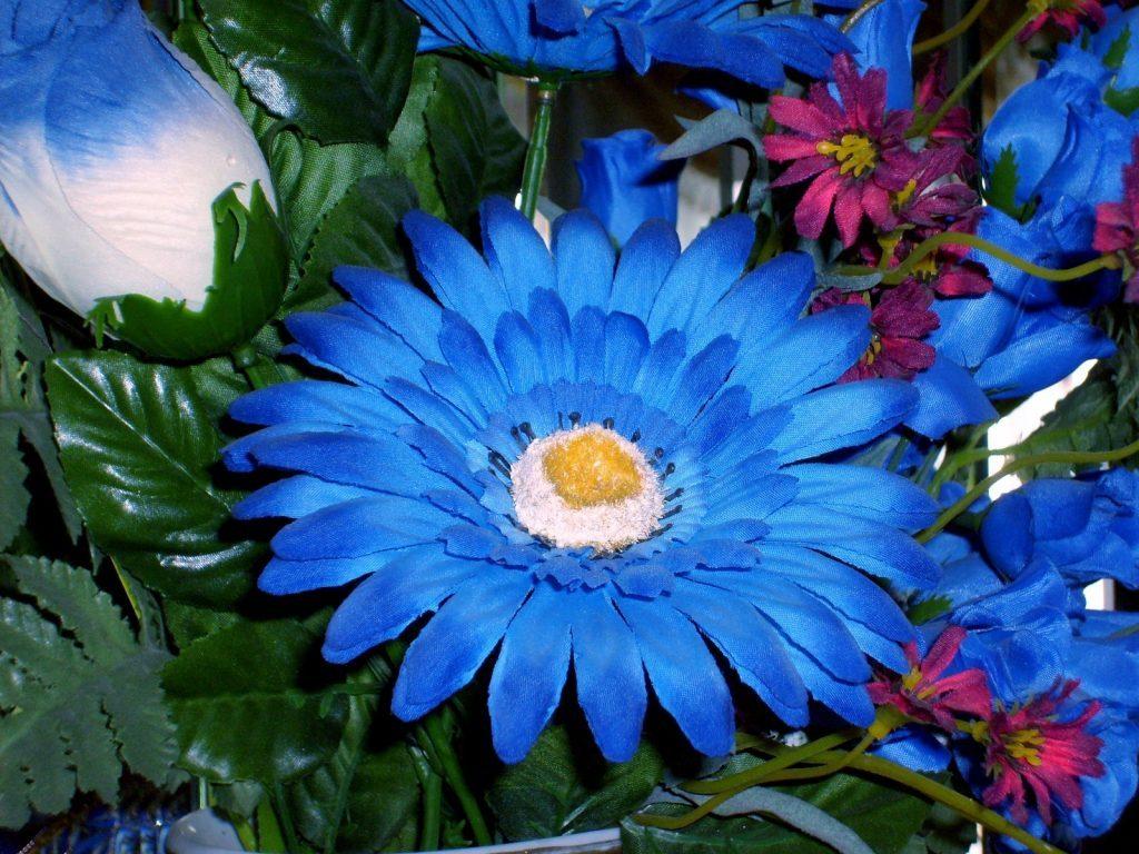 Синяя гербера