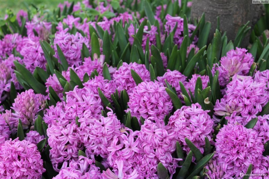 цветы гиацинт когда сажать фото