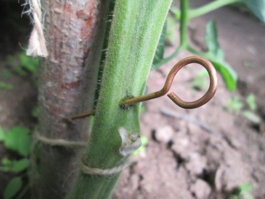 Прокалывание стебля медной проволоки