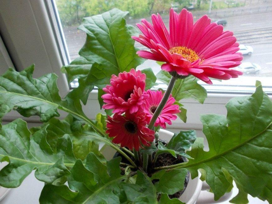 Многолетник в период цветения