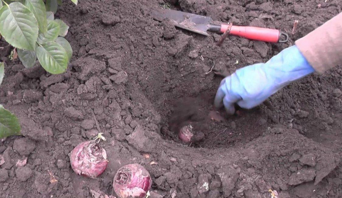Луковицы весеннего многолетника