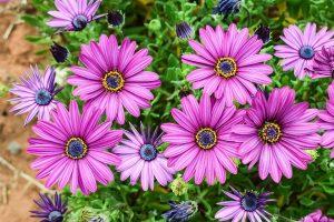 Садовая гербера: описание, виды и сорта, посадка и уход за африканским цветком в открытом грунте, размножение, возможные болезни (40+ Фото & Видео)