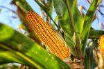 посадка кукурузы в открытый грунт