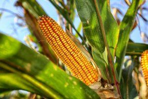 Посадка кукурузы в открытый грунт: как получить хороший урожай при минимальном уходе (25 Фото & Видео) +Отзывы