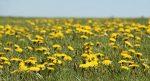 Одуванчик — солнечный цветок. Лечебные свойства и противопоказания для женщин и мужчин. Рецепты с применением одуванчика (Фото & Видео) +Отзывы